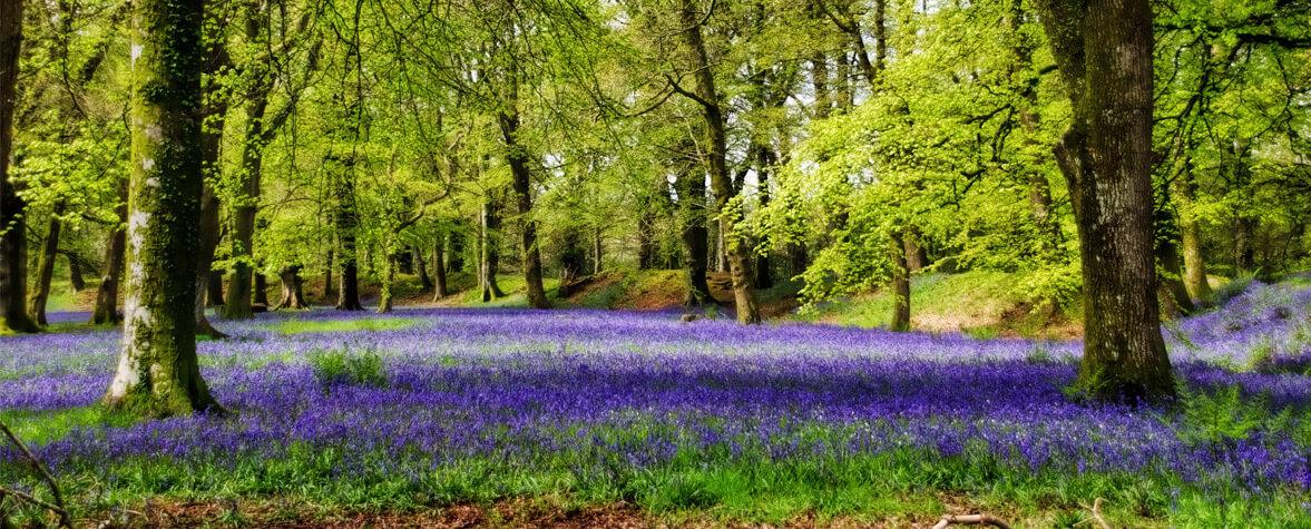 Bluebell field